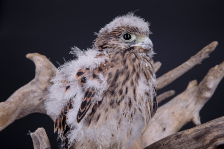 predatory: young chick hawk sitting on a wooden driftwood on a black background