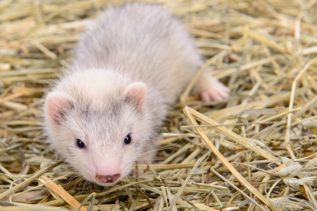 pet valuable: small animal rodent ferret sits on dry hay