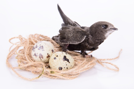 Portrait of an Young Eurasian Swift, in a birds nest with eggs,  isolated on white background photo