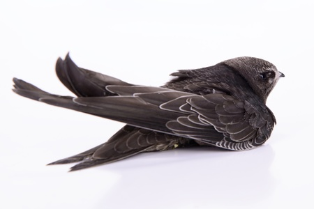 swift: Portrait of an Young Eurasian Swift, isolated on white background