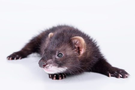 pet valuable: small animal rodent ferret on a white background