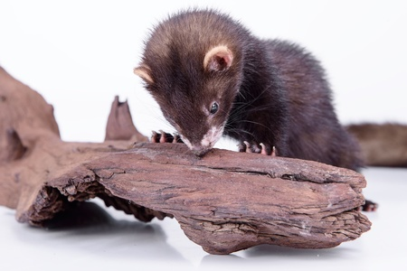 pet valuable: small animal rodent ferret on a white background. sharpening his teeth on a wooden snag