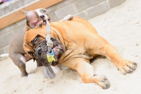 stafford: due cani. bullmastiff juniores e cucciolo stafford