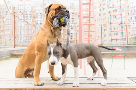 stafford: two dogs. junior bullmastiff and  puppy stafford