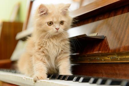 funny animals: fluffy Persian kitten walking on the piano