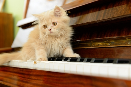 fluffy Persian kitten walking on the piano