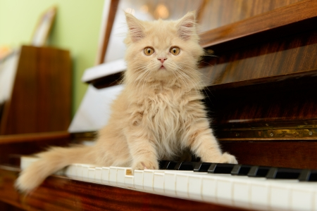 fluffy Persian kitten walking on the piano
