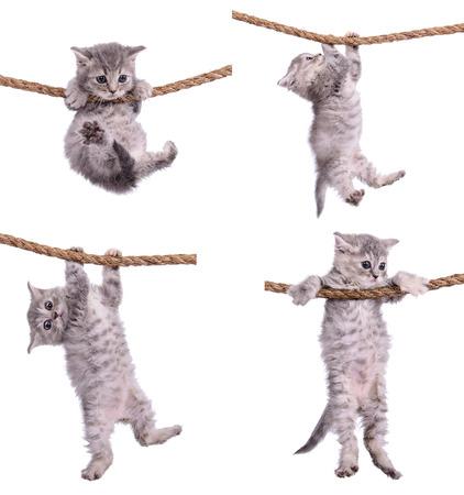 tigrato: quattro piccoli gattini strisce tabby razza scozzese. animasl appeso su una corda isolato su sfondo bianco