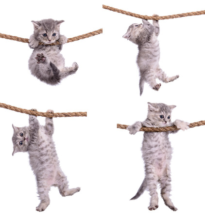 four small striped kittens Scottish tabby breed. animasl hanging on a rope isolated on white background Standard-Bild