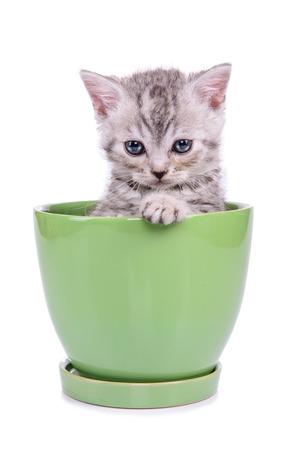 small striped kitten Scottish tabby breed. animal in a flowerpot isolated on white background photo