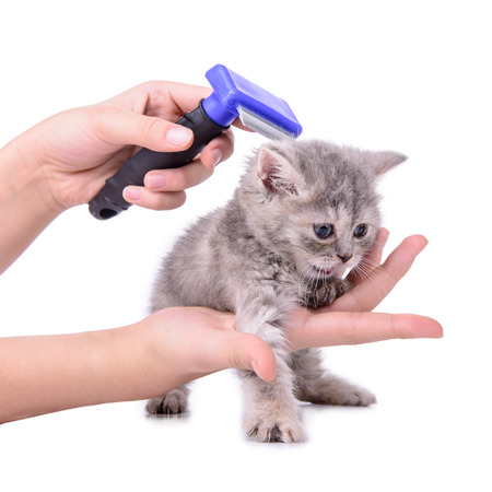 Scottish little kitten grooming comb. isolated on white background