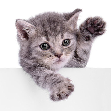 Scottish kitten holding a billboard. animal isolated on a white background Zdjęcie Seryjne