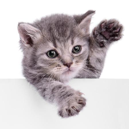 Scottish kitten holding a billboard. animal isolated on a white background Stock Photo
