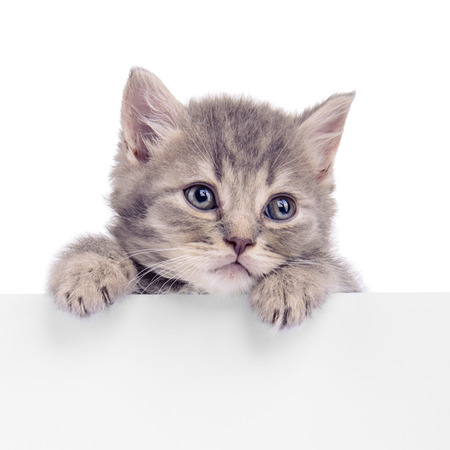 Scottish kitten holding a billboard. animal isolated on a white background Standard-Bild