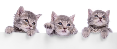 three Scottish kitten holding a billboard. animals isolated on a white background
