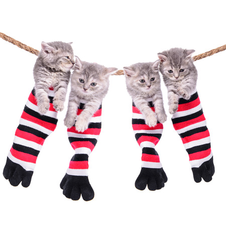four small Scottish kittens sitting inside socks hanging from washing line. pets isolated on a white background