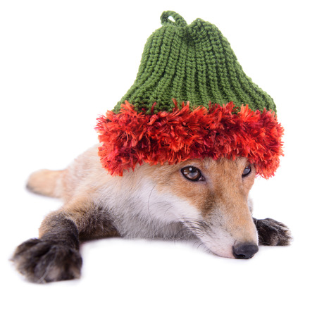red fox with a hat. New Year or Christmas. animal isolated on white background Stock Photo