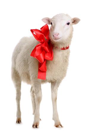 クリスマスの弓と羊。白い背景で隔離の動物