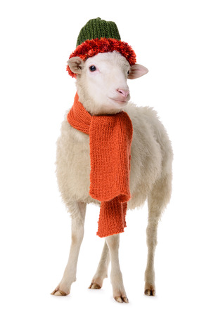 Sheep in Christmas clothes. animal isolated on white background Stock Photo