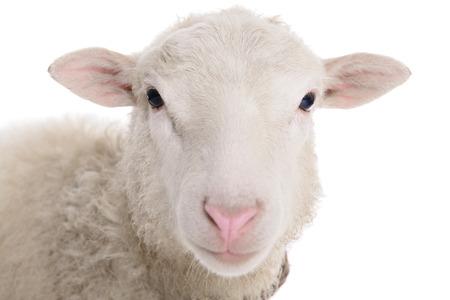 oveja: ovejas aisladas sobre fondo blanco