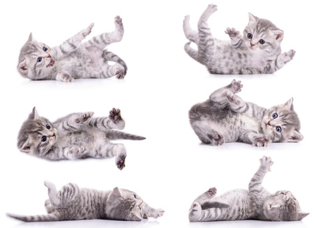 six gray tabby Scottish kittens lies on their back and played. animal isolated on white