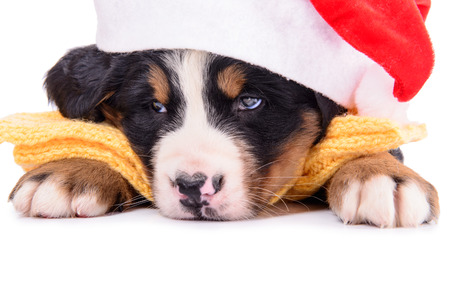 berner: Puppy Bernese Mountain Dog with clothes. animal isolated on white