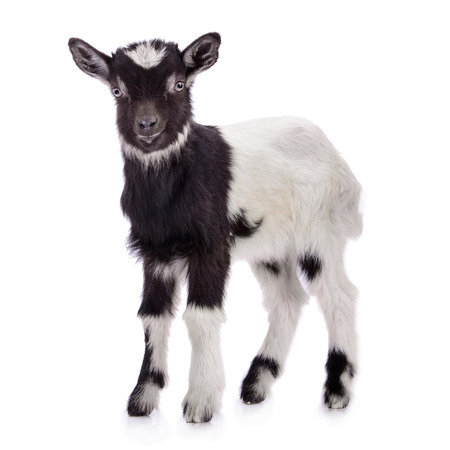 baby goat: newborn goat stands. animal Farm. Isolated on white background