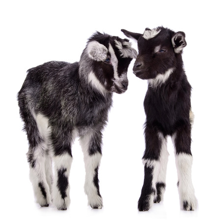 two newborn goats. farm animal. Isolated on white background Stock Photo