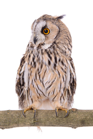 bird owl isolated on a white background photo