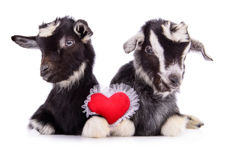two newborn goats with heart. farm animal. Isolated on white background