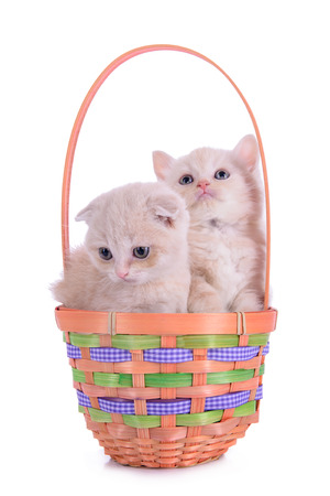 two small red kittens Scottish breed in basket. animal isolated on white background photo