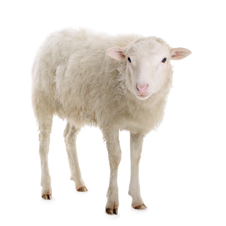ovejas bebes: ovejas aisladas sobre fondo blanco