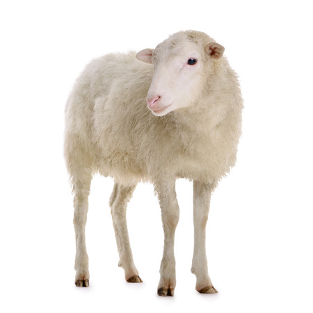 sheep isolated on white background  Standard-Bild
