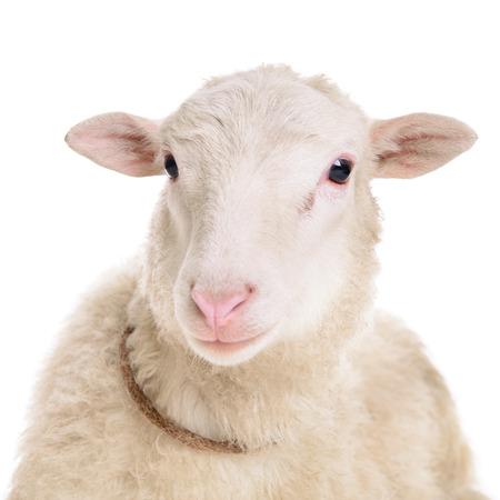 白い背景で隔離の羊