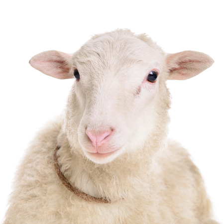 sheep isolated on white background  Zdjęcie Seryjne