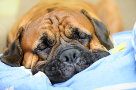 bullmastiff: Junior bullmastiff dog lying on the sofa and resting close-up Stock Photo