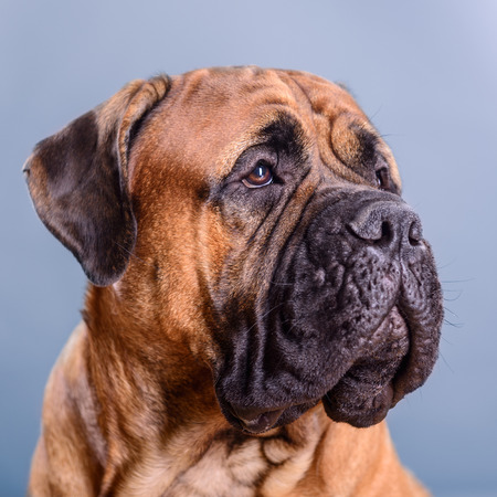 bullmastiff: bullmastiff dog portrait close-up on a light background Stock Photo
