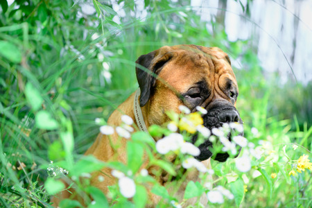 bullmastiff: Pet bullmastiff dog sits in a park near flowers