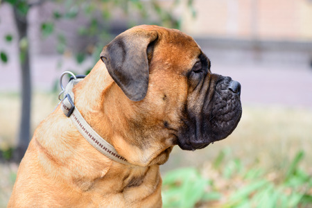 bullmastiff: portrait of pet large red dog bullmastiff close-up Stock Photo