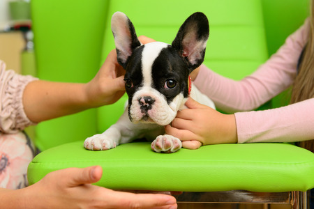 green and black: small pet a French Bulldog puppy with human hands Stock Photo