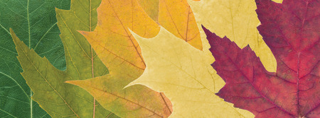 composition of beautiful colored autumn leaves close up