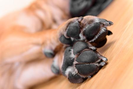 pet dog pads and big claws feet closeup