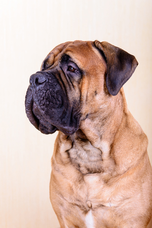bullmastiff: portrait of a large red dog bullmastiff