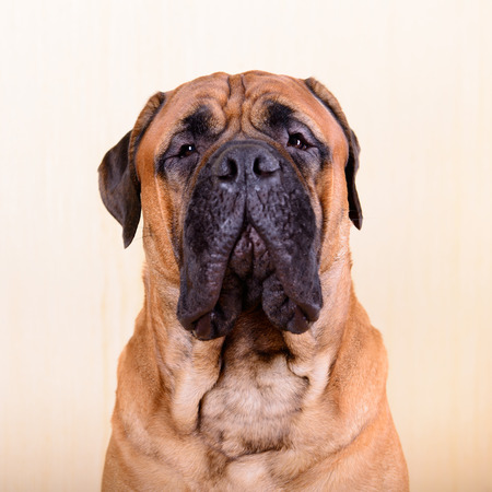 large dog: portrait of a large red dog bullmastiff