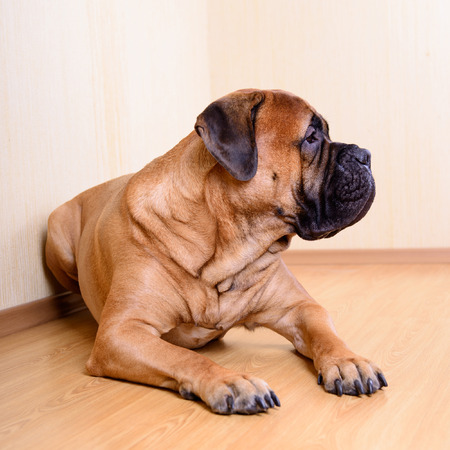 bullmastiff: large pet dog bullmastiff lying on the floor