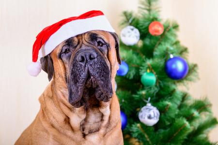 bullmastiff santa dog in Christmas hat with Christmas tree