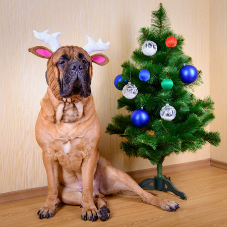 bullmastiff: bullmastiff dog in winter hat with a Christmas tree portrait close-up Stock Photo