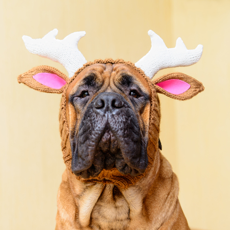 bullmastiff: bullmastiff dog in winter hat  portrait close-up Stock Photo
