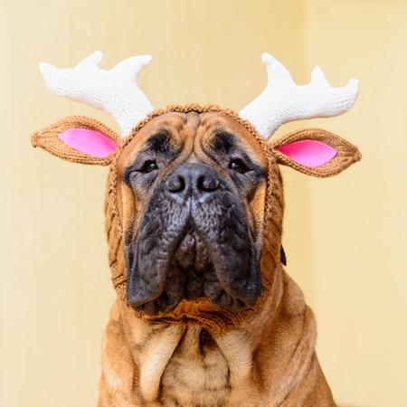 bullmastiff dog in winter hat  portrait close-up Stock Photo