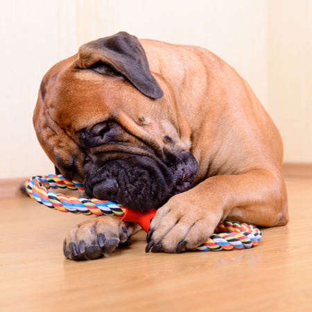 bullmastiff: large pet bullmastiff dog playing with his toy